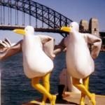seagullsinsydneyweb